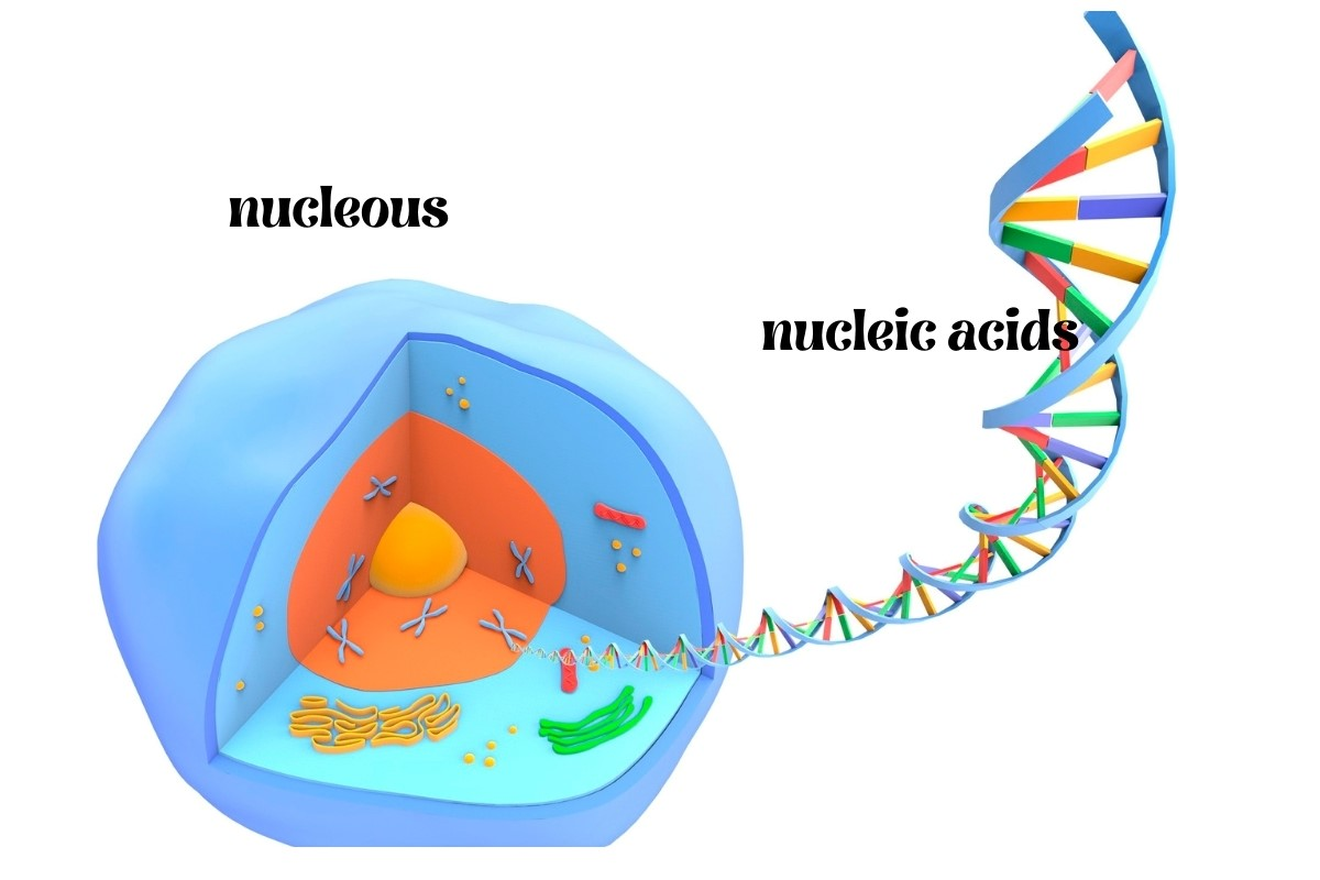 nucleolus-and-nucleic-acids