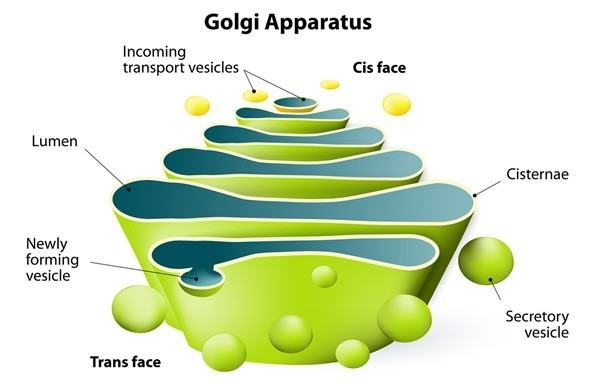 Golgi Apparatus- Definition, Function, and Structure