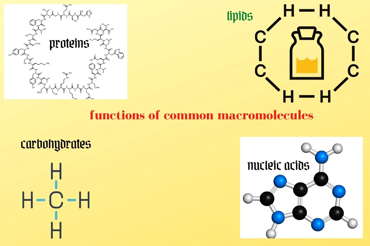 common macromolecules