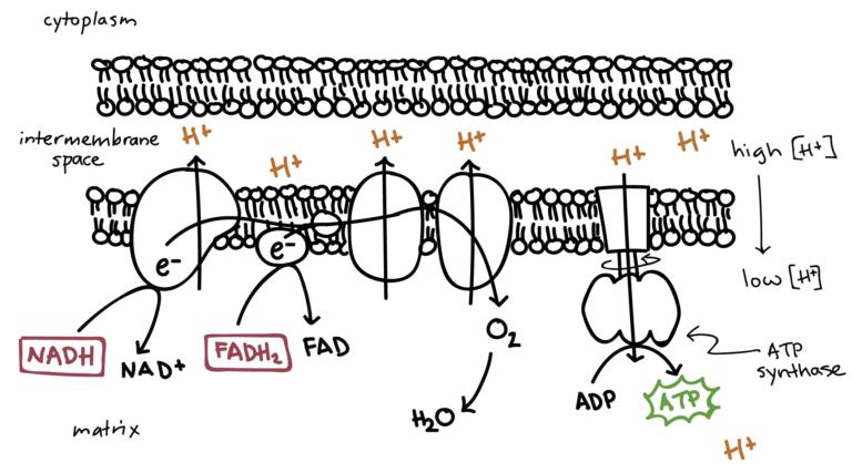 Steps of Oxidative Phosphorylation