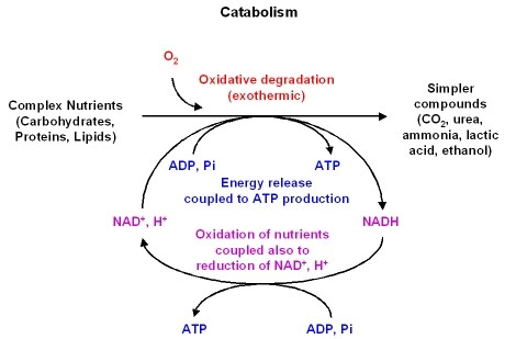 Metabolism Pathways-Examples, Diagrams, and Overview